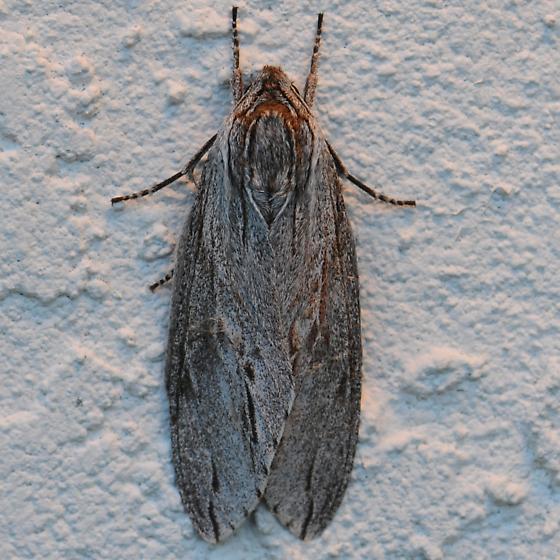 Moth - Isoparce cupressi