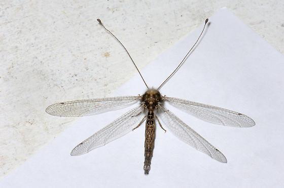 Owlfly - Ululodes sp. - Ululodes macleayanus