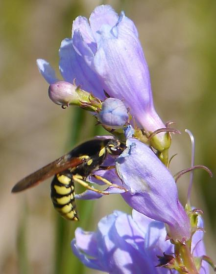 yellow and black waspish pollinator - Pseudomasaris vespoides