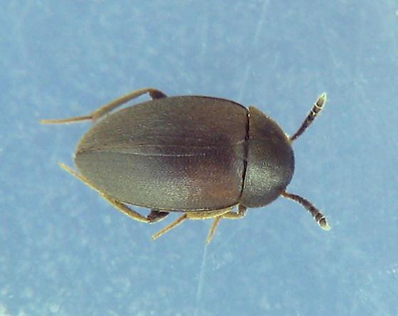 Small Carrion Beetle - Catops paramericanus - female