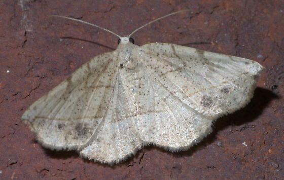 Tan geometrid moth - Eusarca packardaria - female
