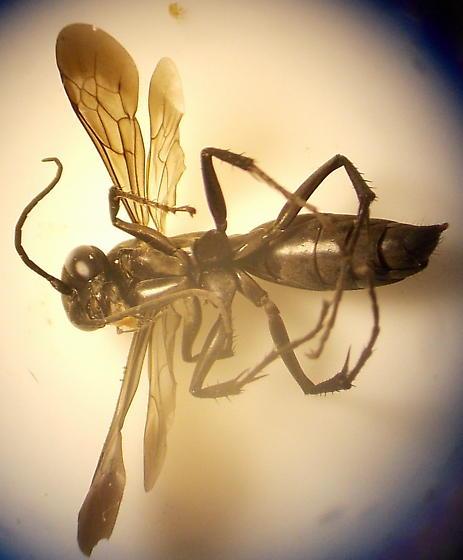 black wasp - Anoplius