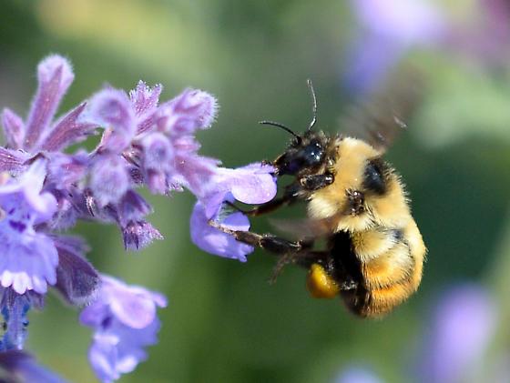 Northern Amber Bumble Bee - Bombus borealis - Bombus borealis
