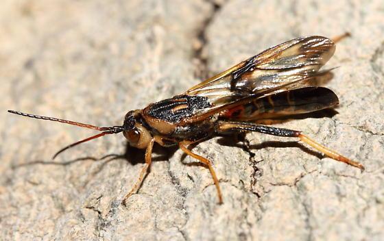 Wasp - Ibalia anceps - male