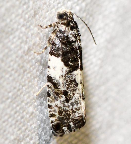 Gypsonoma adjuncta, 3229 - Gypsonoma adjuncta