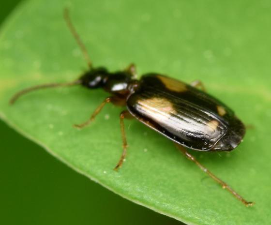 colorful foliage ground beetle - Lebia ornata