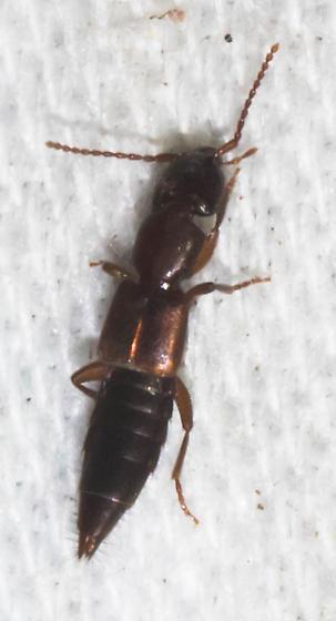 Brown-backed rove beetle - Achenomorphus corticinus