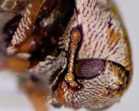 Anthrenus coloratus? - Anthrenus coloratus - female