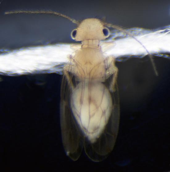 Unknown Barklouse - Ectopsocus