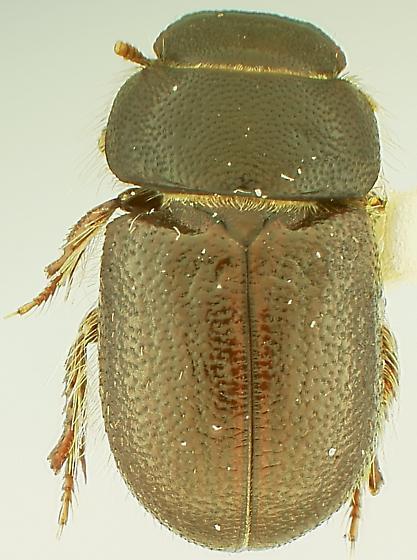 tiny teneb - Cheirodes californicus