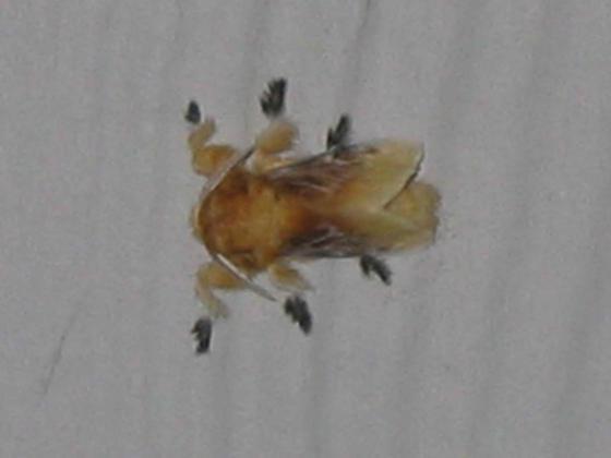 Furry tan/brown moth - Megalopyge opercularis