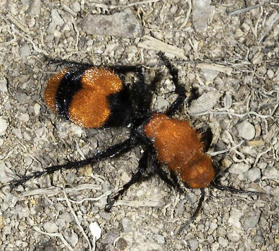 Zoom! - Dasymutilla occidentalis - female