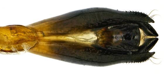Male, Agrilus latifrons? - Agrilus latifrons - male