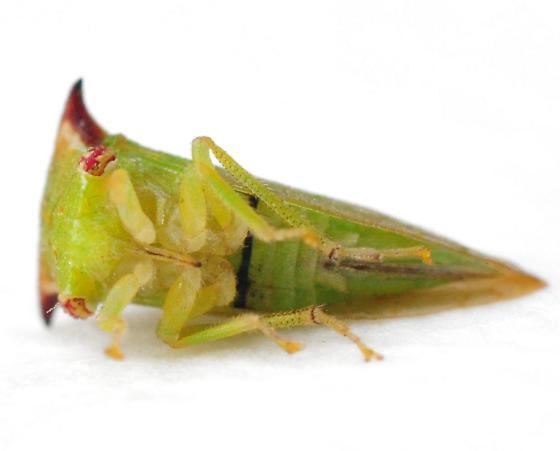 Stictocephala militaris - female