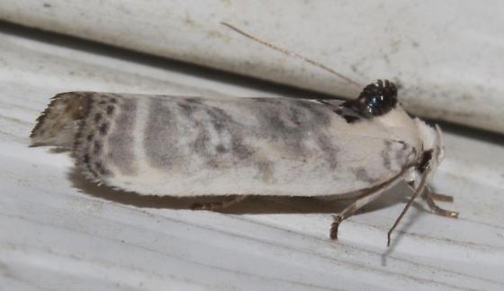 Schlaeger's Fruitworm Moth - Antaeotricha schlaegeri
