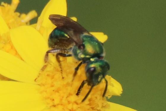Deep Green Metallic Sweat Bee - Augochlora pura