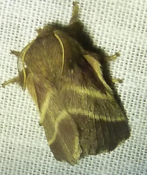 Malacosoma americana– Eastern Tent Caterpillar Moth - Malacosoma americana