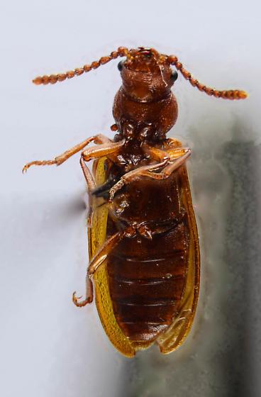 Pythid.... - Priognathus monilicornis