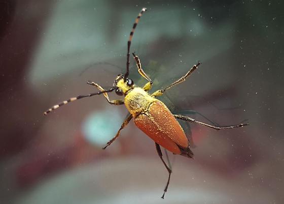 Beetle - Brachyleptura rubrica