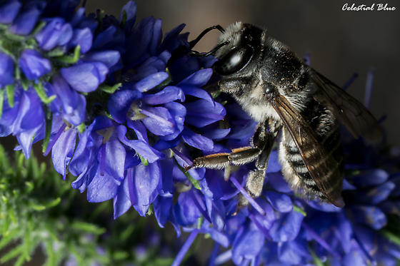 Texas Leaf Cutter? - Megachile texana