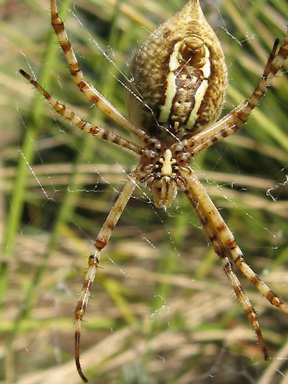 Large Spider in Front Yard - Argiope trifasciata