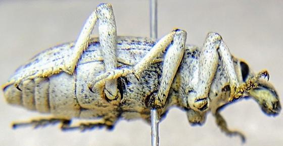 Mojave Alternate Apleurus Specimen - Apleurus