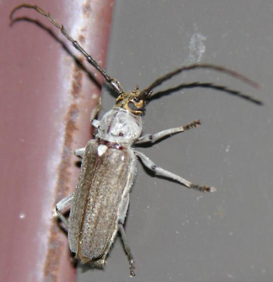 Bentsen 'bycid - Gnaphalodes trachyderoides