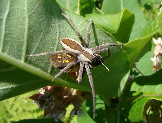 New Spider - Pisaurina mira