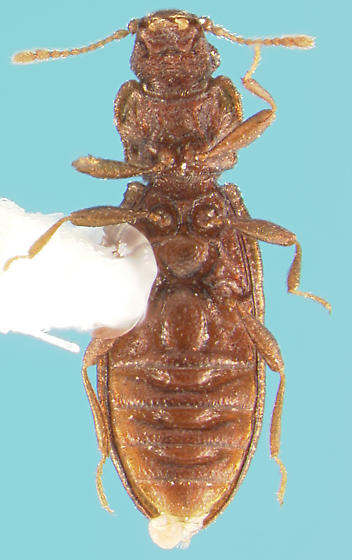 Latridiid - Dienerella filum
