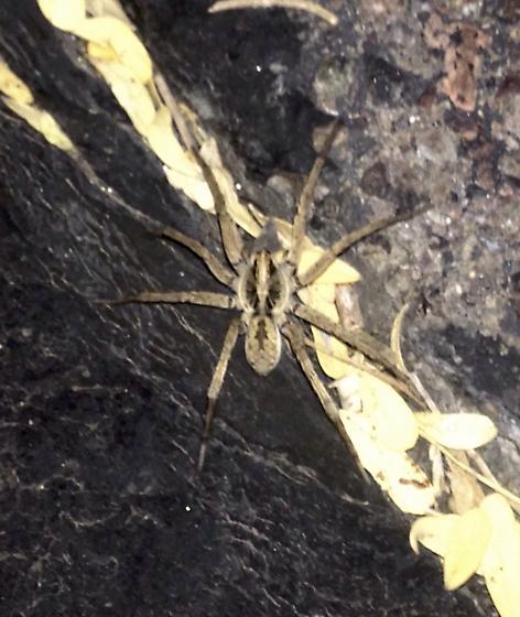 Unknown Spider - Hogna