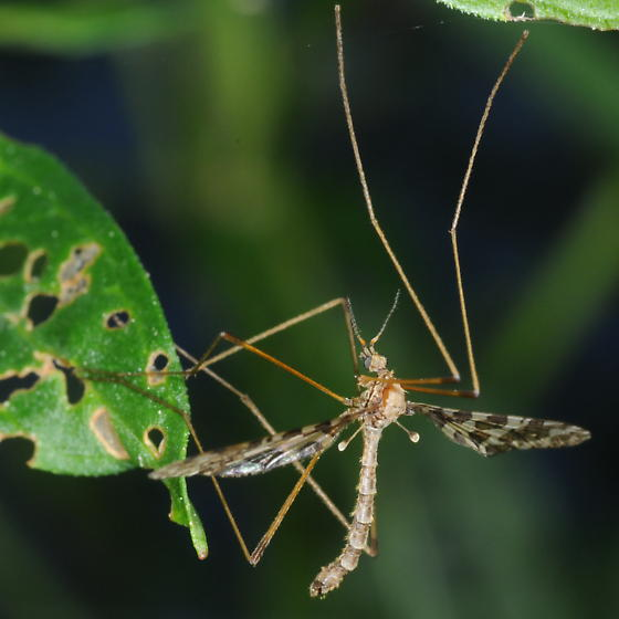 Crane Fly - Epiphragma fasciapenne - male