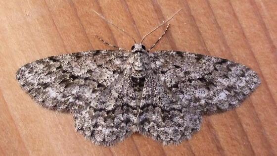 Geometridae: Ectropis crepusularia? - Ectropis crepuscularia