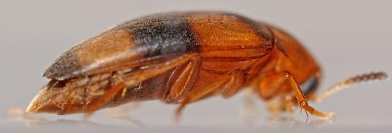 false flower beetle - Pentaria trifasciata