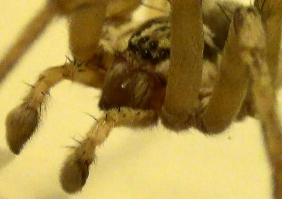 Prowling Spider - Syspira - male