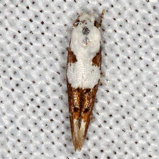 Circumscript Mompha Moth - Mompha circumscriptella