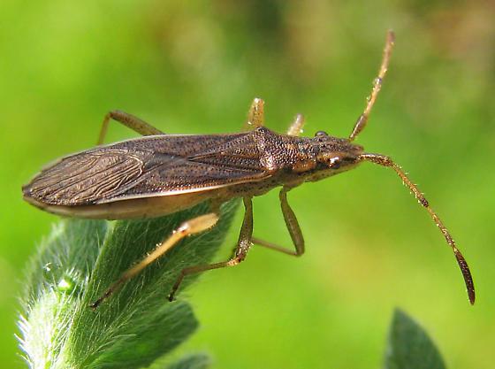 Do Catorhintha have a range in the PNW? - Darmistus subvittatus