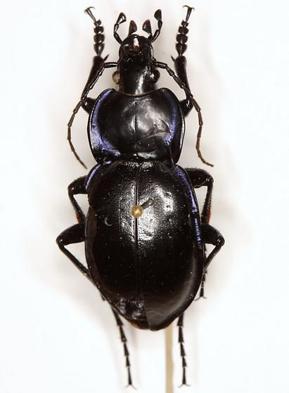 Carabus (Tanaocarabus) finitimus Haldeman - Carabus finitimus - male