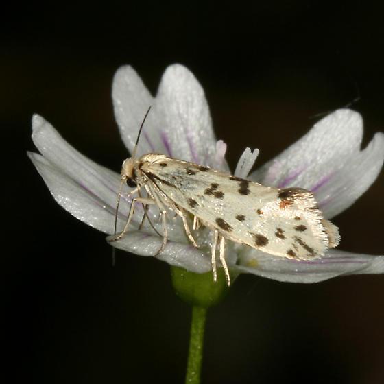 Yucca Moth - Greya piperella