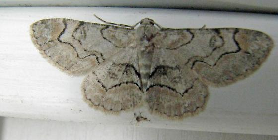 6588 Bent-line Gray - Iridopsis larvaria