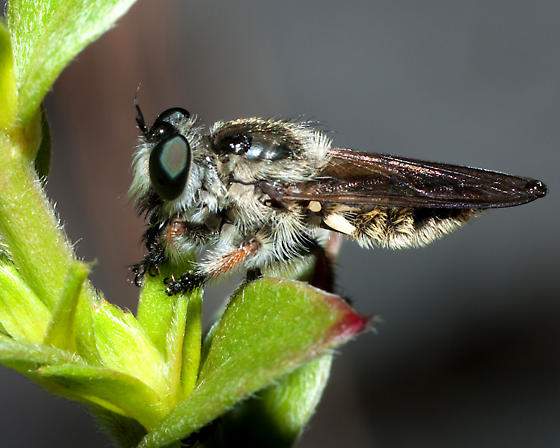 Robberfly - Megaphorus clausicellus