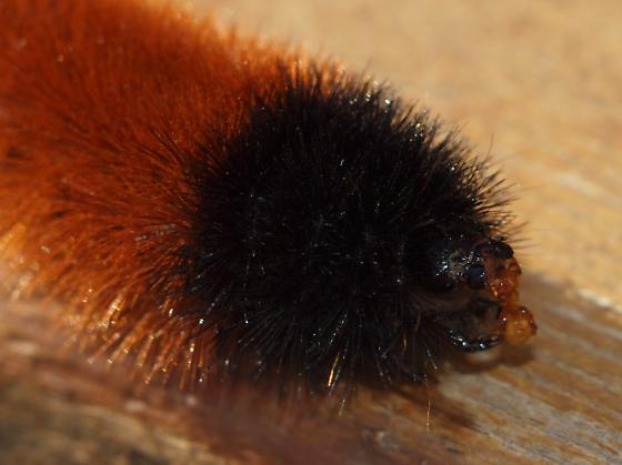 Wooly Bear with Red Ant - Pyrrharctia isabella - Pyrrharctia isabella