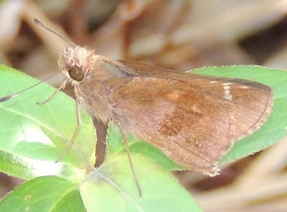 Skipper sp.? - Lerema accius