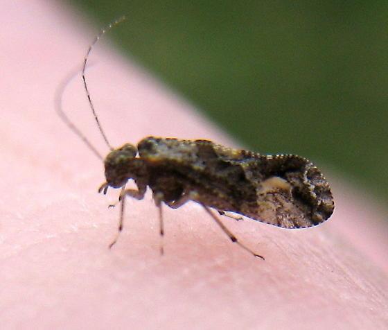 Bark louse on my finger - Myopsocus adventive-established-california