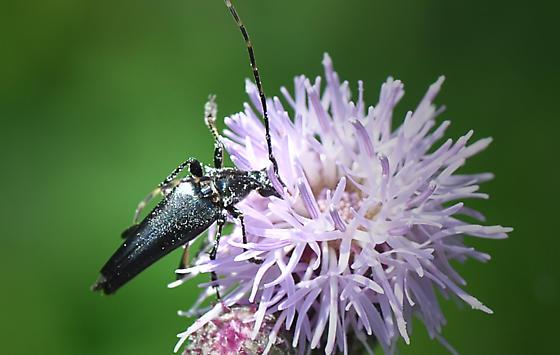 Beetle - Etorofus plebejus