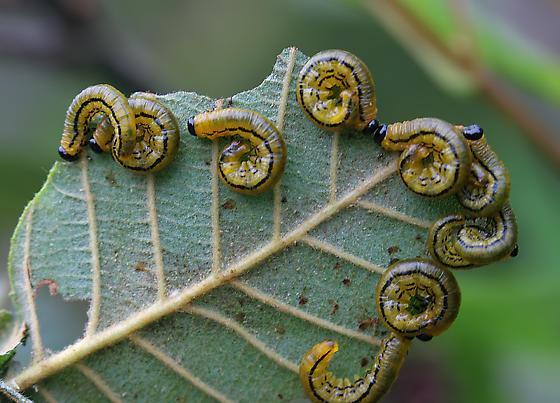 Sawfly? - Hemichroa crocea
