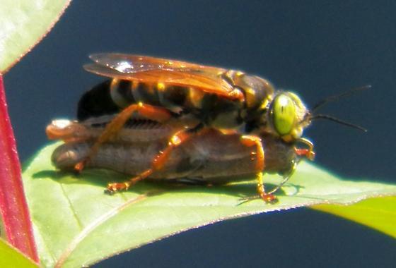 Wasp 063015 ID - Tachytes distinctus - female