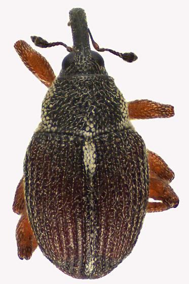 Weevil Beetle - Amalus scortillum