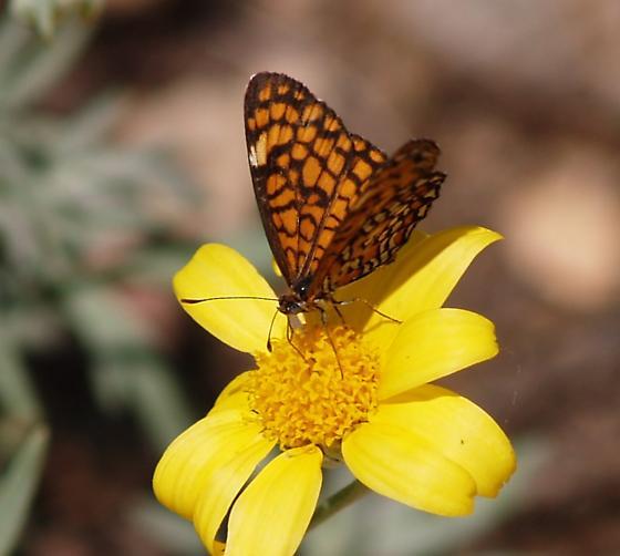 Tiny Checkerspots - Microtia dymas - female