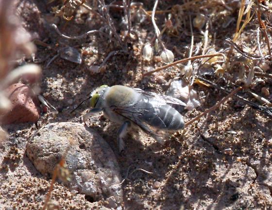 Gray hairy bee - Centris pallida
