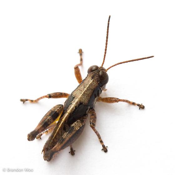 Melanoplus puer - male